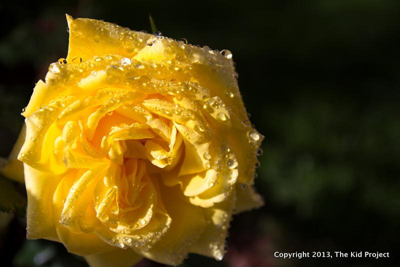 yellow rose, water drops